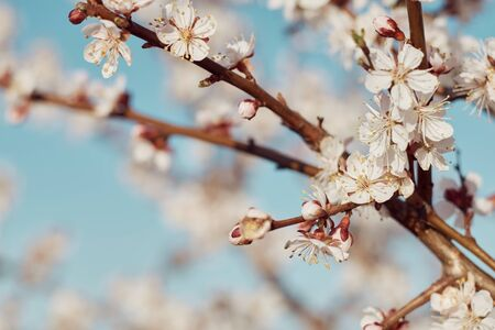 Close-up of a branch of blossomed apricots: spring time concept.