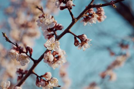 Spring flowering apricots: spring time concept. Stock fotó