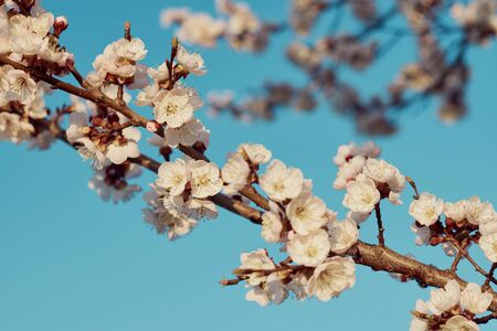 Branches of blossomed apricots on a spring day against a blue sky. Stock fotó