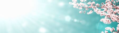 Panoramic shot of flowering apricot branches on a sunny sky background with copy space: spring time concept.