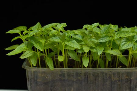 Close-up of tomato seedlings in a plastic box on a dark background. Stock fotó