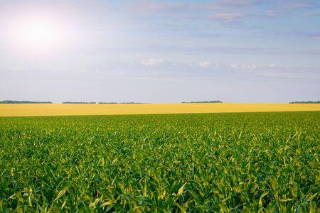 Campo de trigo y maíz: paisaje rural y concepto de agricultura.
