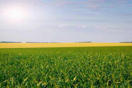 Corn and wheat field: rural landscape and farming concept. Stock fotó
