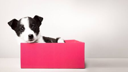 Cute puppy in a gift box with copy space.