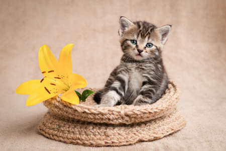 Portrait of a cute kitten in a basket with a yellow lily.