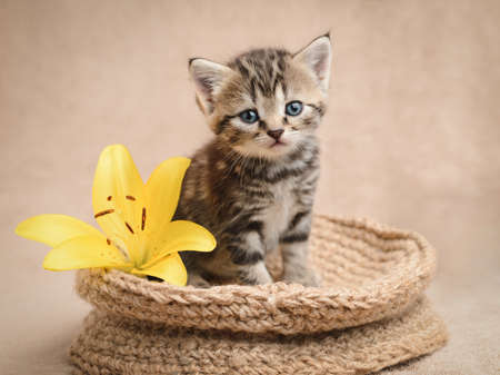 Cute tabby kitten in a basket with a yellow lily.