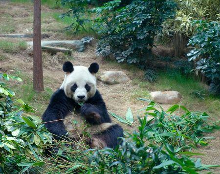 bearcat: Giant panda in Ocean Park, Hong Kong