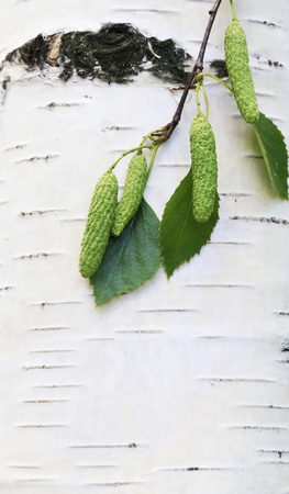 birch bark: Closeup branch with buds and green leaves over birch bark Stock Photo