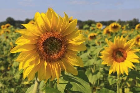Beautiful sunflower in the field Stock Photo - 13718081