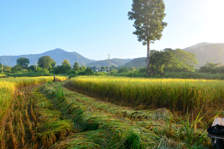 Green rice field in the morning with farmer harvesting rice