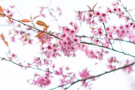 Beautiful wild Himalayan Cherry ( Prunus cerasoides ) name Sakura in Thailand blooming on the tree Stockfoto