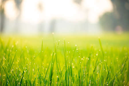 Close up of nature fresh green grass rice with drop of dews meadow in the morning (bokeh and sensitive focus.)