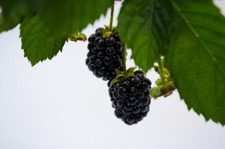 blackberry met bladeren Stockfoto