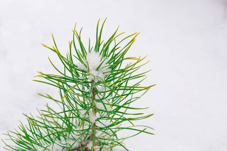 Green pine seedling on a snowy background. Forestry and afforestation. Snow lies on a young pine tree. Close-up photo. Reklamní fotografie