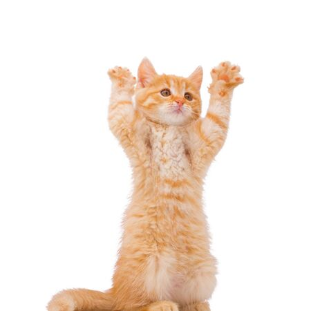 Funny red kitten stood on its hind legs. The red kitten lifted up its paws.