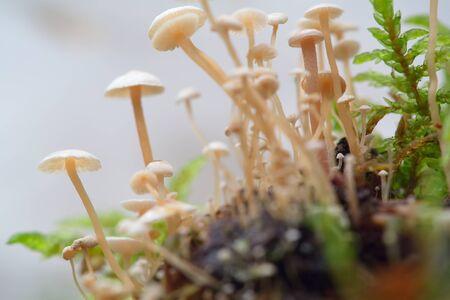 Hallucinogenic mushrooms grow in nature. Mushrooms. containing psilocybin. Stock Photo