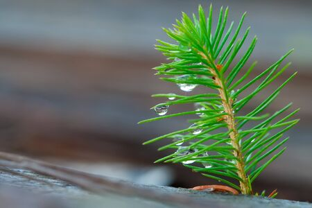 Young sapling of spruce on a defocused background. Tree seedling with water droplets. Young forest. Ecological concept.