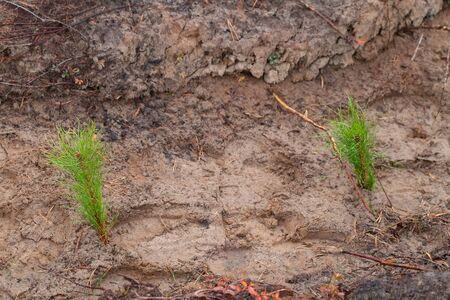 Seedlings of trees. planted by man. Two pine seedlings grow in the forest. Forest planting concept.