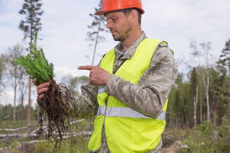 Forest worker holds seedlings in his hands. Forestry and afforestation. Ecologist points a finger at the seedlings of spruce.