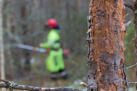 The trunk of a young pine tree in the foreground. Selective focus on a tree trunk. In the background, a forest worker is working with a brush cutter. Forestry and reforestation concept.