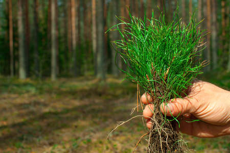 Man's hand holds green pine seedlings. A pine forest grows in the background. Stock Photo
