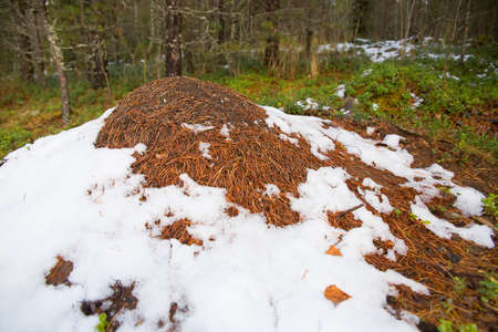 An anthill covered with snow. Snow lies on an anthill in the forest. Selective focusing on the surface of the anthill.