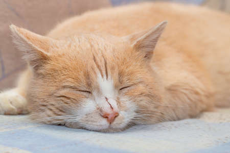 The big ginger cat is sleeping on the sofa. Impudent red muzzle.
