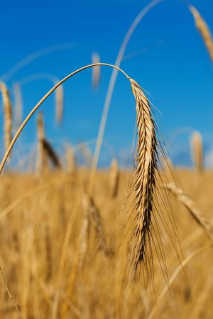 ripe gold wheat ear with field on background photo