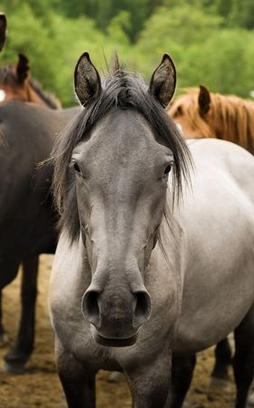 light brown horse: one grey horse head front view look at camear