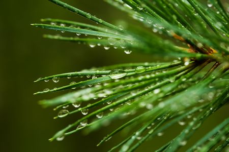 dewdrops: Pine needle with big dewdrops after rain