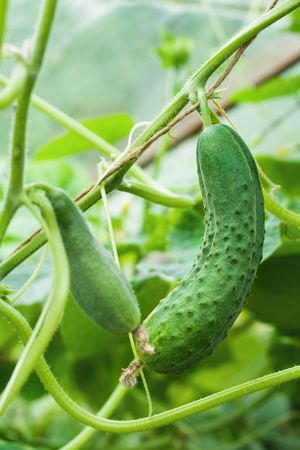 two green cucumbers growing on a vine  in greenhouse photo