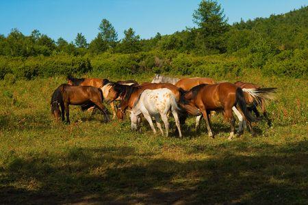horse herd in the field grazing in susnset light photo