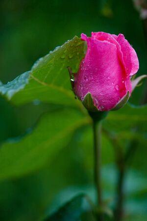 Eine kleine rosa rose Bud mit Wasser Tropfen auf grün hintergrund