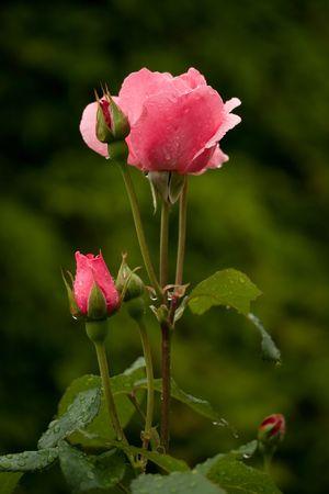 gotas de rosas con agua después de lluvia sobre fondo verde  Foto de archivo