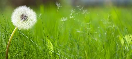 Piękny biały mniszek na trawniku z świeżą zieloną trawą wiosną