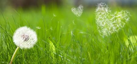 Dandelion tworzą latania nasion w formie koncepcji miłości stanowią serca