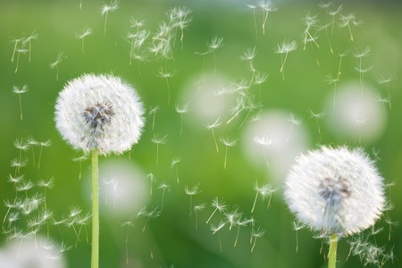 dandelion wind: dandelions with flying seeds on greed grass background