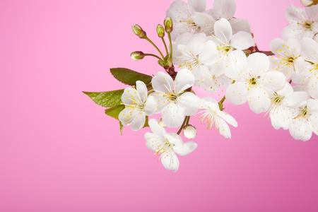 Gros plan de fleurs de cerisier sur fond rose