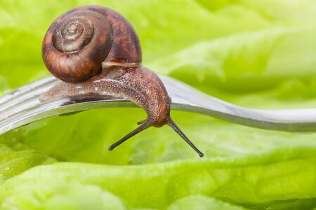 Delicious vegetarian diner - close-up of a snail sitting on the fork in the plate with lettuce photo