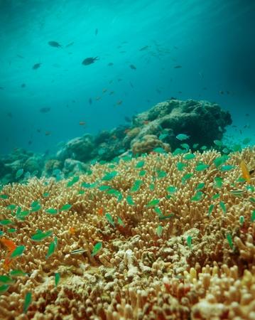 basslet: Escuela de peces peque�os en la parte superior de la tabla de corales