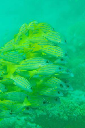 Whole big shoal of Bluestripe snapper fish Stock Photo - 11753613