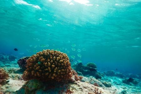 basslet: Peque�os peces de color azul y coral con los rayos del sol que cae desde la parte superior