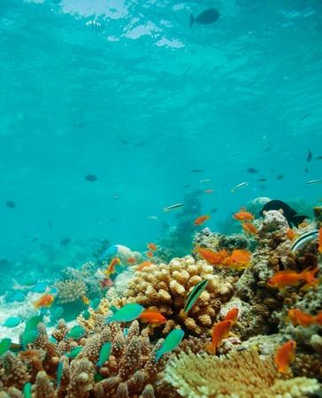 basslet: Colonia de peque�os peces en el arrecife Foto de archivo