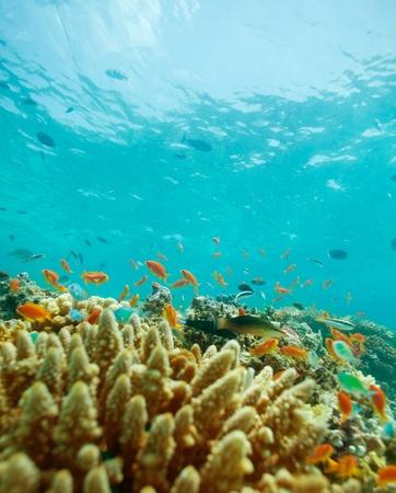 basslet: Colodny de peque�os peces en el arrecife