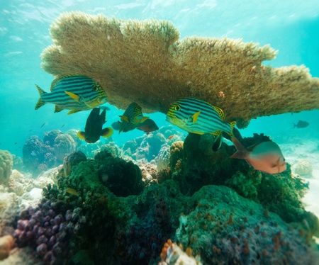 staghorn: Table Coral and oriental sweetlips fishes hiding beneath
