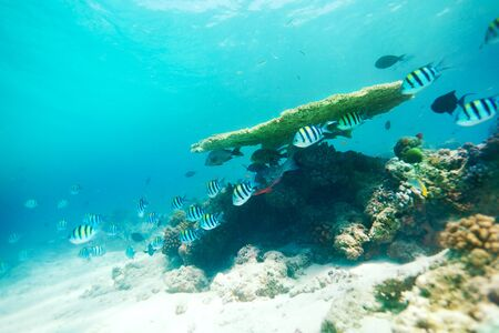 Table Coral and life around it with oriental sweetlips,Sergeant Major and