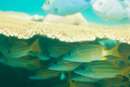 sweetlips: oriental sweetlips fishes hiding beneath Table Coral