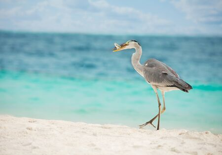 Egret with fish in beak walking on the beach photo