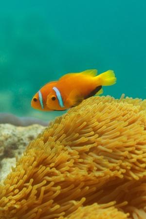 ocellaris clownfish: Close-up of clownfish couple swimming among anemones Stock Photo