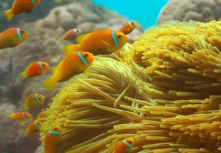 Close-up of clownfishes group swimming among anemones photo